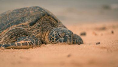 Photo of Ρεκόρ φωλιών για τις χελώνες καρέτα- καρέτα στην Ελλάδα φέτος