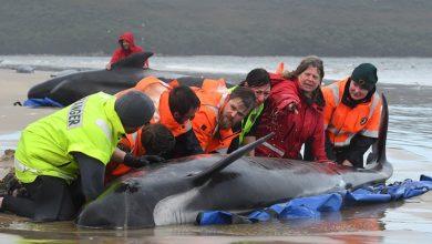 Photo of Αυστραλία: Η συγκλονιστική μάχη για τη διάσωση δεκάδων φαλαινών – Δείτε φωτογραφίες