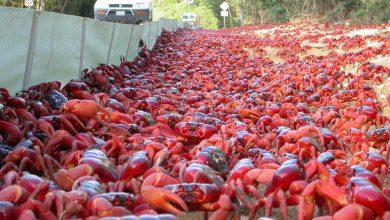 Photo of Κόκκινα καβούρια κλείνουν δρόμους για να γεννήσουν (βίντεο)