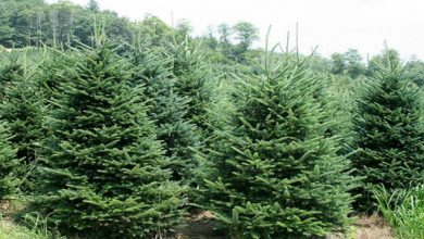 Photo of Δασαρχείο Κορίνθου: Υλοτομία, διακίνηση και εμπορία χριστουγεννιάτικων δένδρων